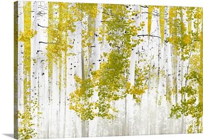 Birch Trees G
