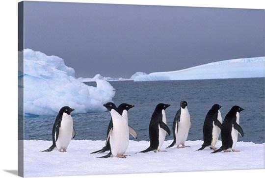 Antarctica, Colony Of Adelie Penguins Wall Art, Canvas Prints ...