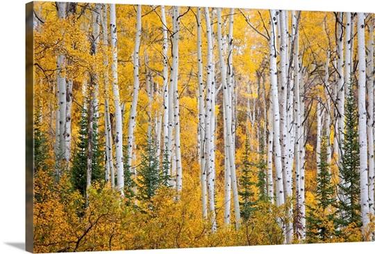 Colorful Aspen Trees. Thorpe Mountain, Colorado Wall Art, Canvas ...