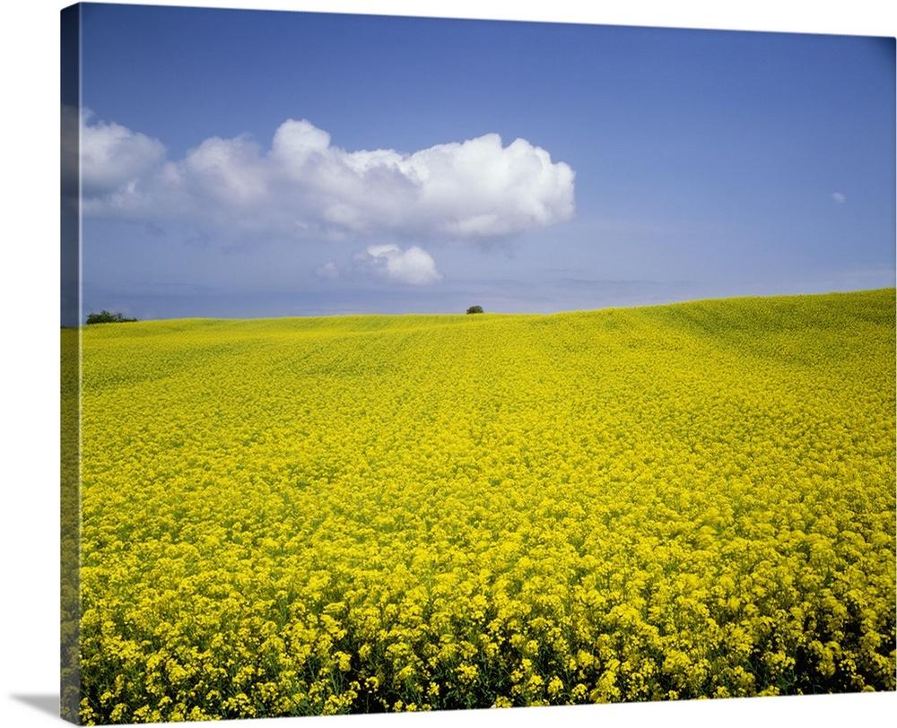 Field Of Oilseed Rape, Yokohama, Aomori Prefecture, Japan Wall Art ...