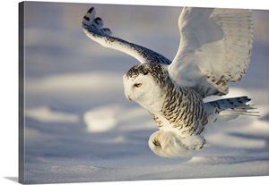 Snowy Owl In Flight Hunting Wall Art Canvas Prints