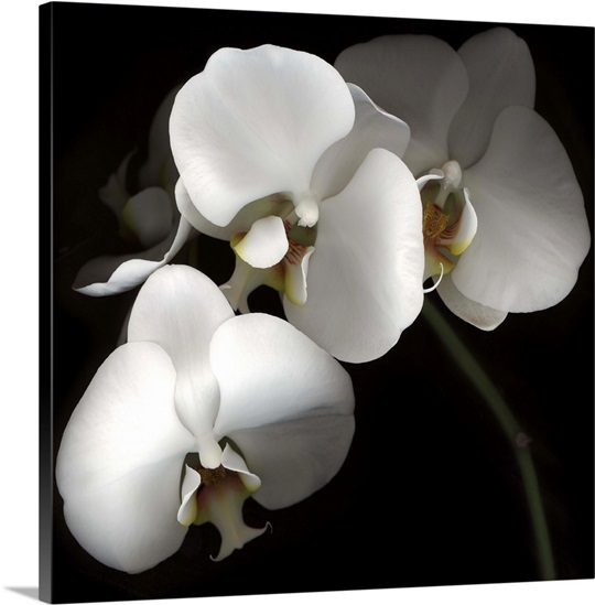 Finest White Phalaenopsis Orchids Wall Art, Canvas Prints, Framed Prints  WR28