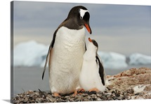A gentoo penguin with chick, Antarctica