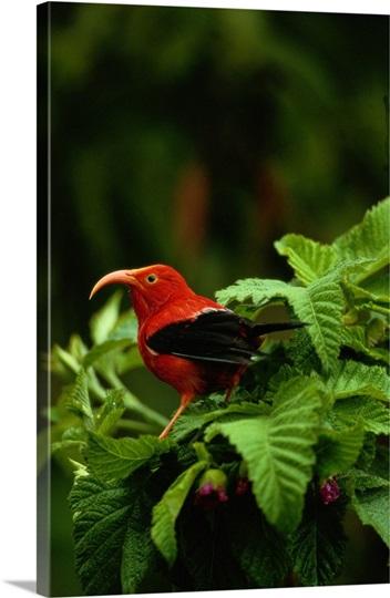 Hakalau Forest National Wildlife Refuge, Hawaii, Hawaiian Islands