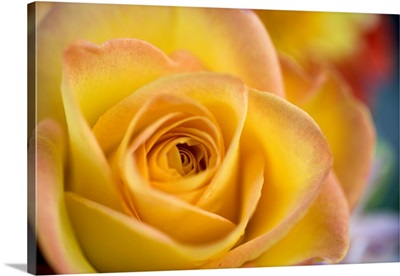 A close-up of a yellow rose reveals delicate pink petal tips in Bend, Oregon