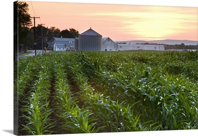 A cornfield on a farm in Hadley, Massachusetts. Sunset