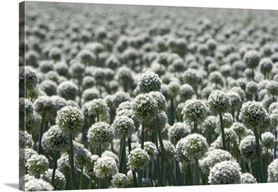 A crop of onions with seed heads in Canyon County, Idaho