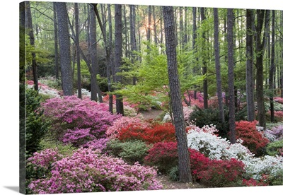 A forest of azaleas and rhododendrons
