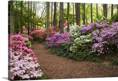A pathway through azaleas and rhododendrons