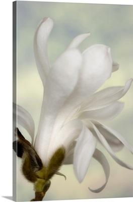 A single star magnolia flower