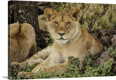 Adult Lion Resting In Shade Of Tree, Serengeti National Park, Tanzania, Africa