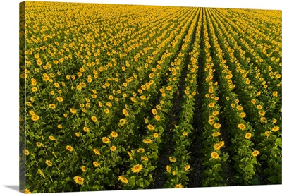 Aerial View Of Sunflower Field, Sam Parr State Park, Jasper County, Illinois