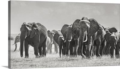 Africa, African Elephant, Amboseli National Park, Front Of Elephant Herd Walking