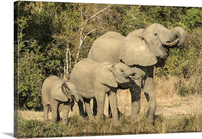 Africa, Botswana, Baby to adult elephants drinking