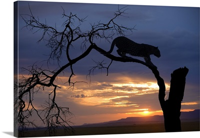 Africa, Botswana, Leopard on branch at sunset