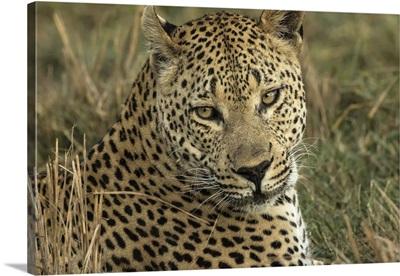 Africa, Botswana, Portrait of resting adult leopard