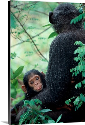 Africa, East Africa, Tanzania, Gombe National Park, Infant Chimpanzee With Mother