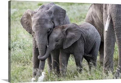 Africa, Kenya, Amboseli National Park, Close-Up Of Juvenile Elephant