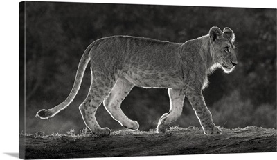 Africa, Kenya, Maasai Mara National Reserve, Backlit Close-Up Of Young Lion