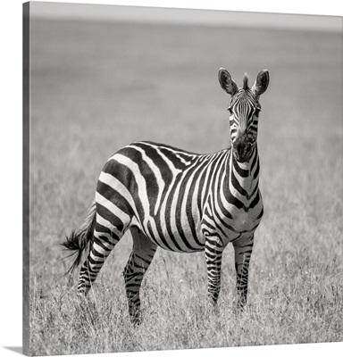 Africa, Kenya, Maasai Mara National Reserve, Close-Up Of Lone Zebra