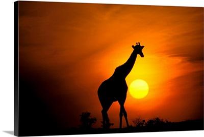 Africa, Kenya, Masai Mara. Giraffe