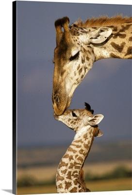 Africa, Kenya, Masai Mara. Giraffes (Giraffe Camelopadalis)