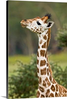 Africa. Kenya. Rothschild's Giraffe Baby At Lake Nakuru NP.