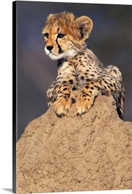 Africa, Namibia.  Animal Rehabilitation Farm.  Cheetah Cub On Termite Mound