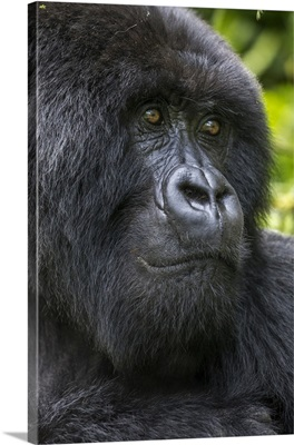 Africa, Rwanda, Close-Up Portrait Of Adult Male Mountain Gorilla, Virunga Mountains