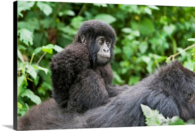 Africa, Rwanda, Volcanoes National Park, Baby Mountain Gorilla