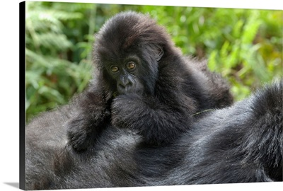 Africa, Rwanda, Volcanoes National Park, Young Mountain Gorilla On Its Mother's Back