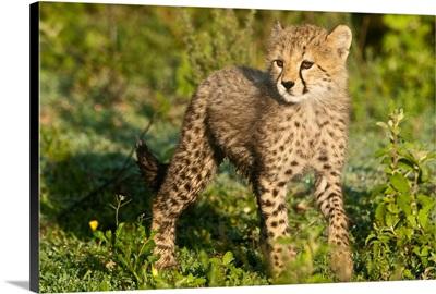 Africa. Tanzania. Cheetah Cub At Ndutu In The Ngorongoro Conservation Area.