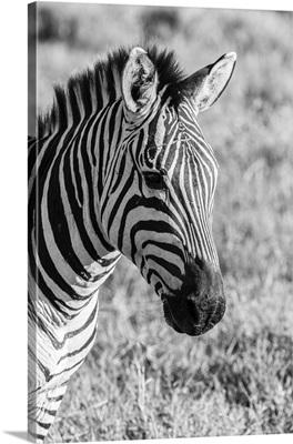 Africa, Tanzania, Ngorongoro Crater, B&W Of Plains Zebra Head