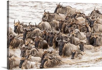 Africa, Tanzania, Serengeti National Park, Wildebeests Crossing Mara River