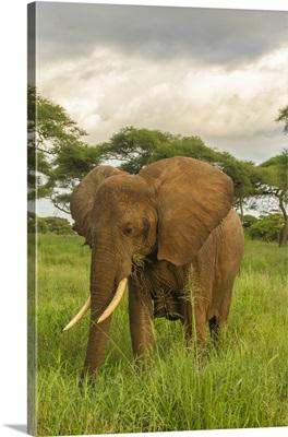 Africa, Tanzania, Tarangire National Park, African Elephant Close-Up