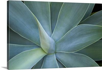 Agave plant, Maui, Hawaii