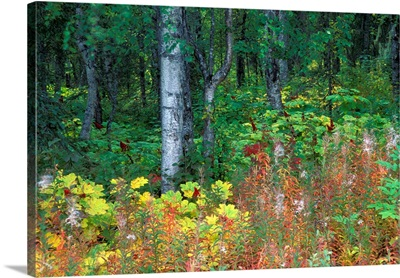 Alaska, Parks Highway, Mile 120, Paper Birch, Fireweed and Devil's Club