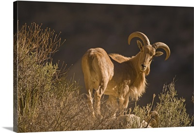 An adult mountain Barbary bighorn sheep forages high in the Guadalupe Mountains.