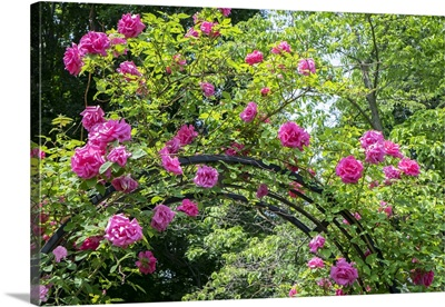 Arbor Of Pink Roses, USA