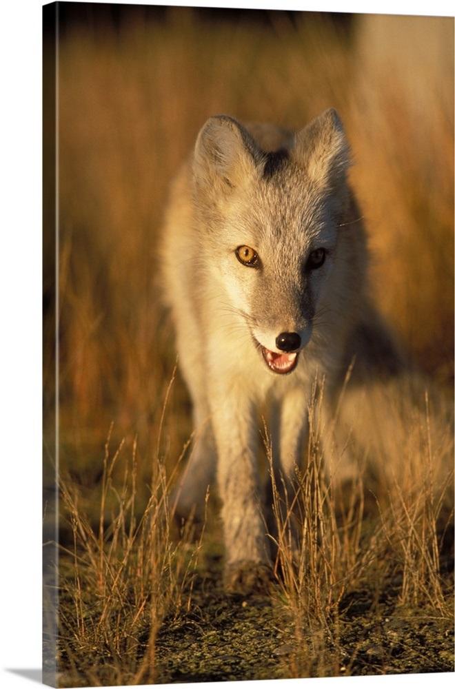 Arctic Fox In Winter