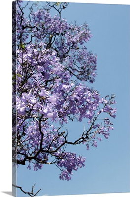 Argentina, Buenos Aires: Jacaranda trees bloom in the city park