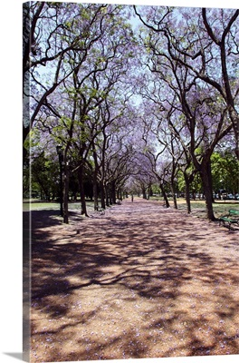 Argentina, Buenos Aires, Palermo, Jacarandas trees bloom in city parks