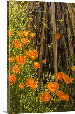 Arizona, Peridot Mesa, California Poppies In Bloom