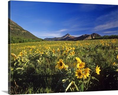 Arrowleaf balsomroot wildflowers in Waterton Lakes National Park in Alberta, Canada