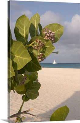 Aruba, Palm Beach, beach flower and sailboat in background