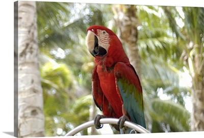 Aruba, Palm Beach, Green wing Macaw at Radisson Resort