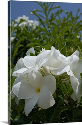 Aruba, Palm Beach, white flowers