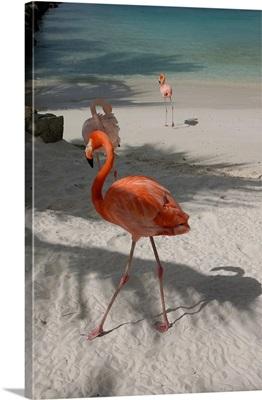 Aruba, Renaissance Island, Caribbean Flamingoes