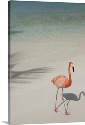 Aruba, Renaissance Island, pink flamingo
