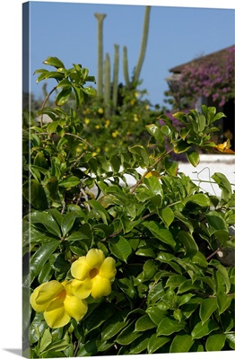 Aruba, yellow flowers, cacti and private home